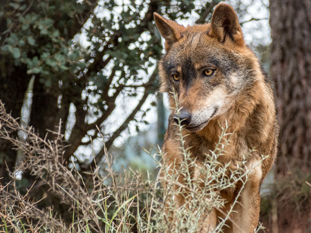 美しい目を持つかわいいイベリアオオカミ肖像画 (Canis lupus signatus)