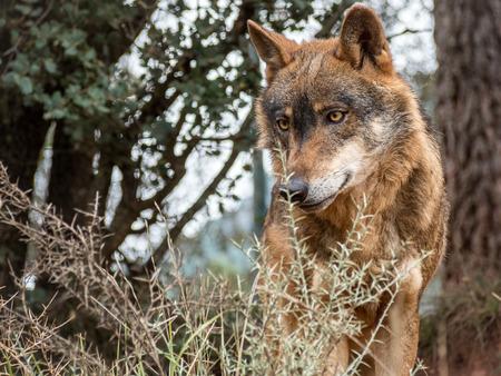 Cute iberian wolf portrait (Canis lupus signatus) with beautiful eyes