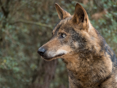 Iberian wolf portrait (Canis lupus signatus) in the forest