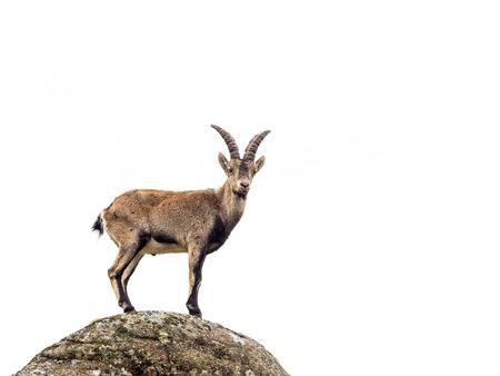 Joven alpino masculina cabras montesas en la cima de la montaña aislado en el fondo blanco