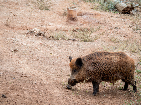 Wild boar (Sus scrofa) in a deforested environment