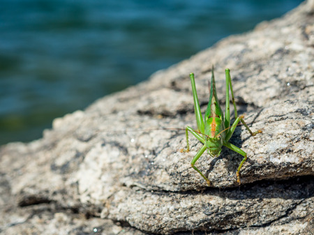 chorthippus: Green grasshoper over a rock at the lake shore