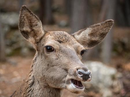 cervus: Portrait of female red deer (Cervus elaphus)
