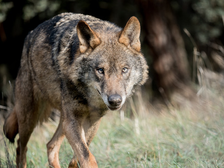 Male iberian wolf (Canis lupus signatus) running and stalking Stock Photo