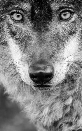 Beautiful male of iberian wolf (Canis lupus signatus) closeup portrait Stock Photo
