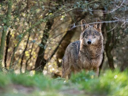 Mooie vrouwelijke Iberische wolf (Canis-wolfszweerusatus) in een verrukt bos Stockfoto
