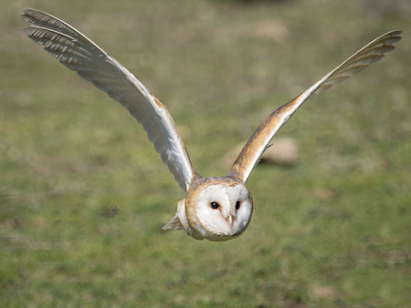 Close up of a barn owl (Tyto alba) flying in the forest 版權商用圖片 - 77812128