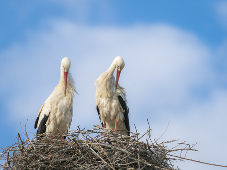 Couple of white storks (Cicocina ciconia) grooming in the nest against blue sky Stock Photo