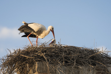 Couple of white storks (Cicocina ciconia) in the nest against blue sky Stock Photo