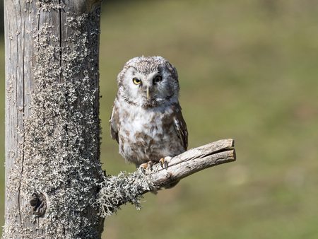 Boreal owl (Aegolius funereus) perched on a branch in the forest
