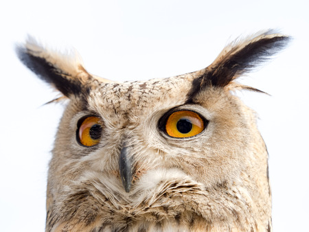 Close up portrait of an eagle owl (Bubo bubo) isolated on white background with yellow and big eyes and a funny expression