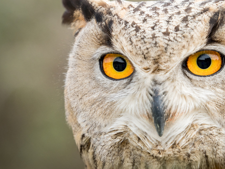 Close up portrait of an eagle owl (Bubo bubo) with big and yellow eyes