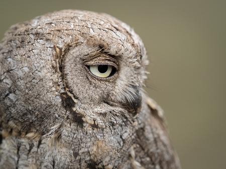 falconry: Portrait of an Eurasian scops owl (Otus scops) with big eyes Stock Photo