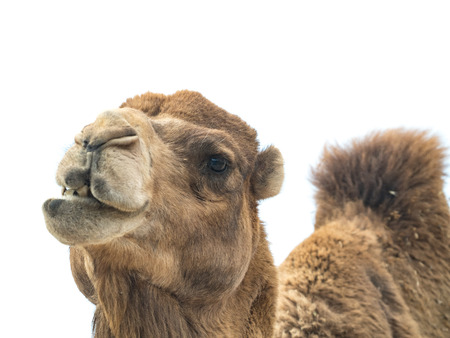 ungulate: Two-humped camel (Camelus bactrianus) isolated on white background Stock Photo