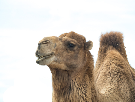 Camel (Camelus bactrianus) isolated on white background