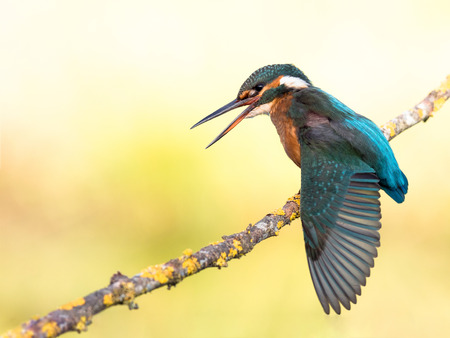 alcedo atthis: Female of kingfisher bird (Alcedo atthis) flapping