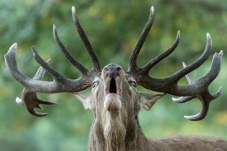 Big male deer howling in rutting season (Cervus elaphus)