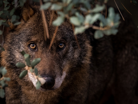 Iberian Wolf (Canis lupus signatus) stalking in the bush Stock Photo