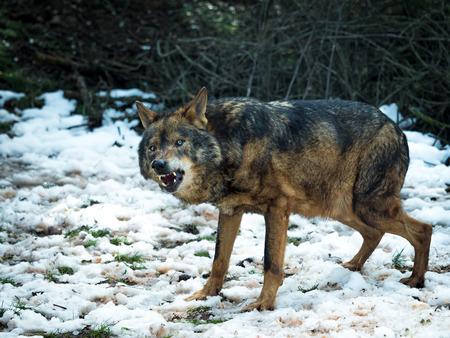 Wolf (Canis lupus signatus) growling