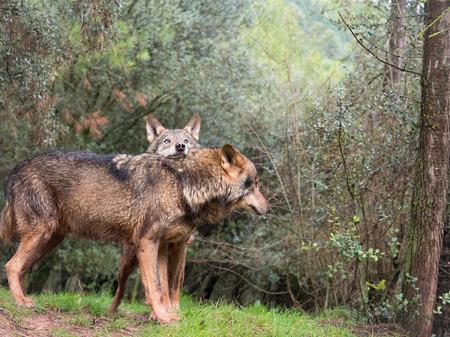 Tender couple of iberian wolves Stock fotó