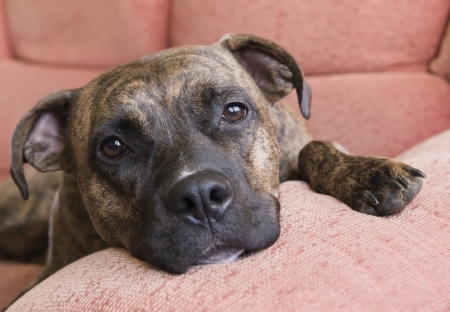 Portrait of a Pitbull lying on the couch at home Stock Photo