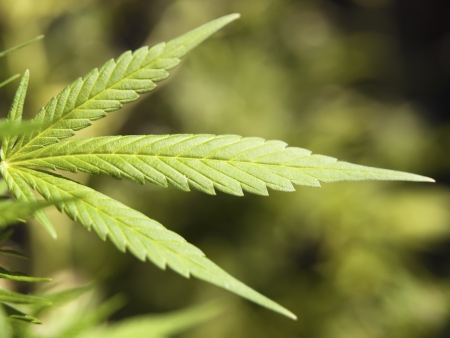 marijuana plant: Detail of a marijuana plant. A plant that creates debate and controversy Stock Photo