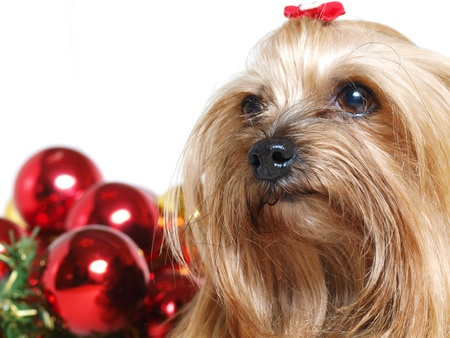 Yorkshire dog close up with christmas balls on white  photo