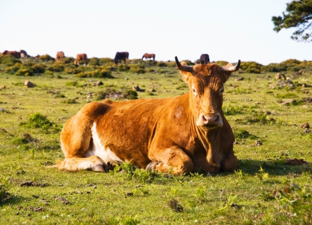 Brown cow lying in a field and looking at camera  This place is located in San Andres de teixido, Galicia, Spain