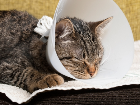 Sleeping cat with an Elizabethan collar inside home photo