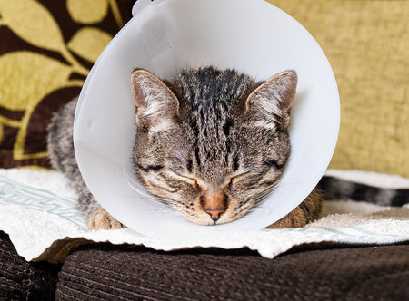 elizabethan: Portrait of an anesthetized cat  with an Elizabethan collar inside home