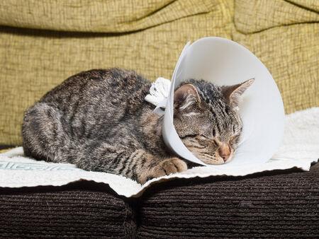 Sleeping cat with an Elizabethan collar inside home Banco de Imagens