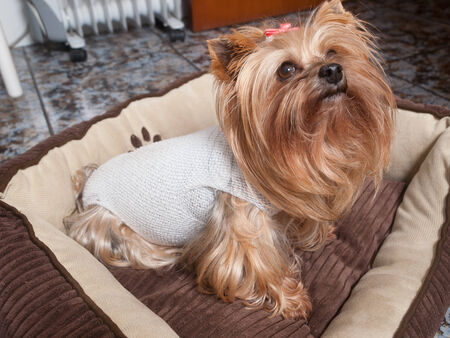 Yorkshire dog recovering after surgery. The dog is inside home. photo