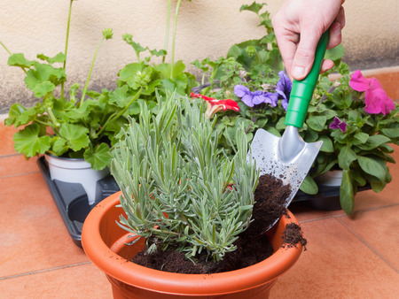 transplanting: Transplanting lavender plant in a terrace at home. Stock Photo