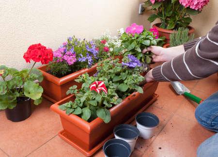 Transplanting plants flowers in a terrace Stock Photo