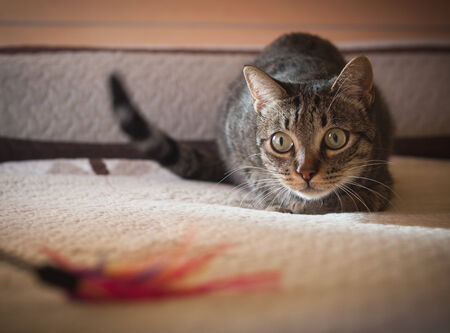 stalking: Cat stalking his feather toy at home.