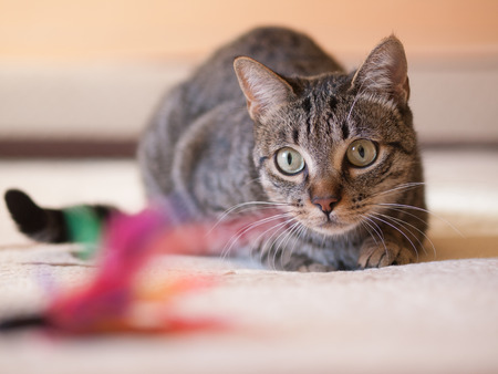 Cat stalking his feather toy on a bed at home