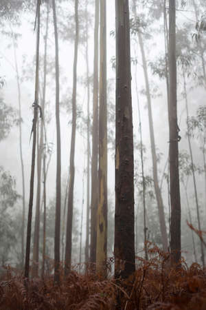 vertical composition: Eucalyptus forest in fog, vertical composition.