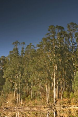 reversed: Eucalyptus forest reflected on the surface of a lake. The picture is reversed