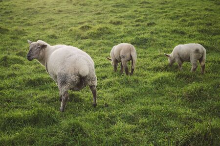 urinating: Three sheep in a meadow. One sheep are urinating. Stock Photo