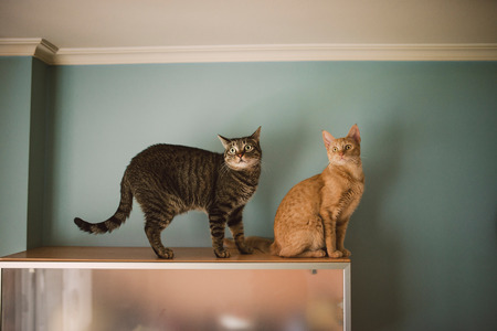 Two cats alert over a living room cabinet at home