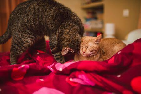 licking: Tabby cat licking a orange kitten. Orange kitten is relaxing. Stock Photo