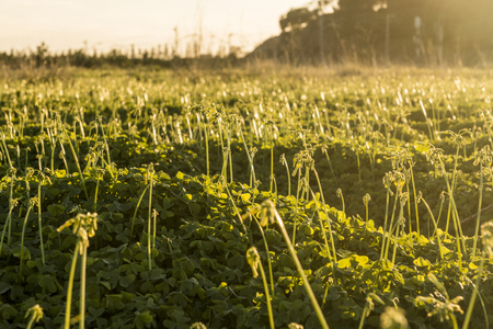 clovers: Dusk in the field of clovers
