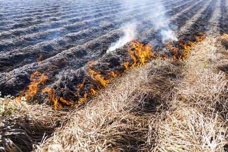 Burning of the remains of the agricultural crop xufa. Banco de Imagens