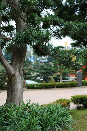 Conifer tree in a park in China Banque d'images
