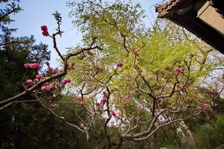 flowering trees in Beijing