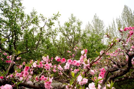 Blooming branches with pink flowers