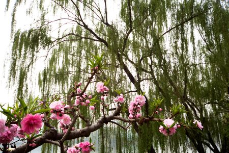 Blooming branch on a background of willow