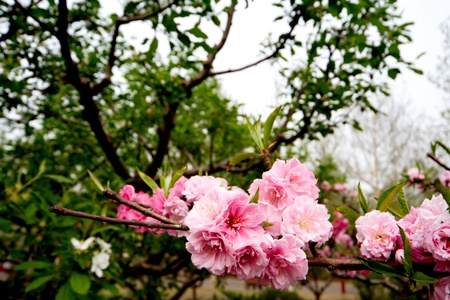 Pink flowers on tree in Beijing Banque d'images