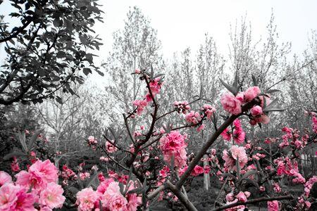 flowering trees with pink flowers in Beijing