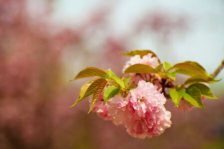 Blooming branch of tree Banque d'images